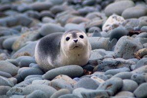 ゼニガタアザラシの赤ちゃん 画像引用:http://wildlife2steps.blog.jp/