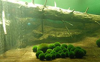 マリモ展示観察センターのマリモ 画像引用:http://www.akankisen.com/