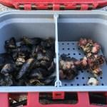 黒鯛(チヌ)落とし込み釣りの餌と刺し方(付け方)使う時期