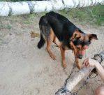 Pies uwiązany do drzewa – Kobylniki gmina Wyszogród