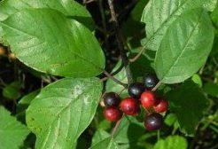 Черная волчья ягода