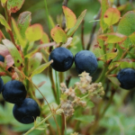 Blueberries Farms in the Ottawa-Outaouais Region