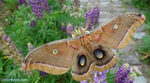 Antheraea polyphemus moth on flowers
