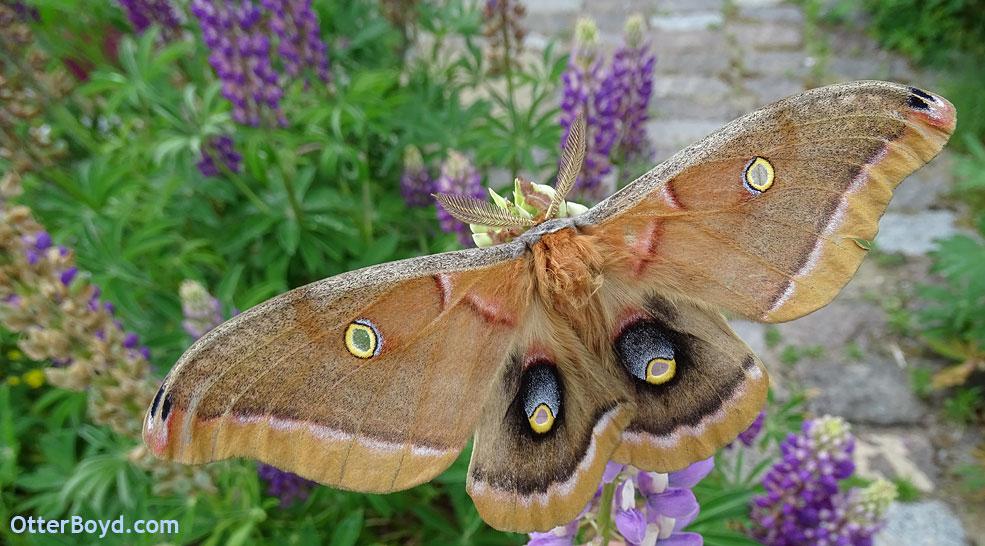 Antheraea polyphemus moth on flowers