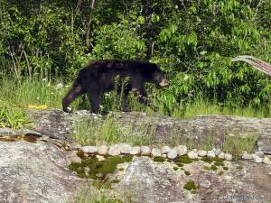 black bear cub on granite