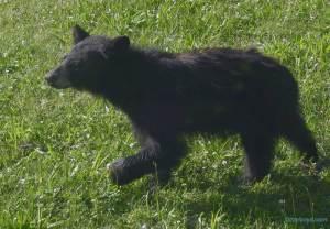 black bear cub on lawn