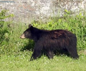 black bear cub outside my bedroom window
