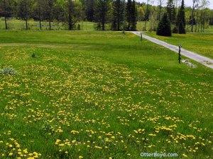 dandelions flowering on lawn