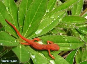eastern newt red eft salamander