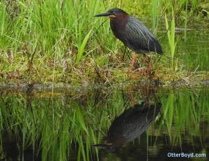 male green heron in breeding colors