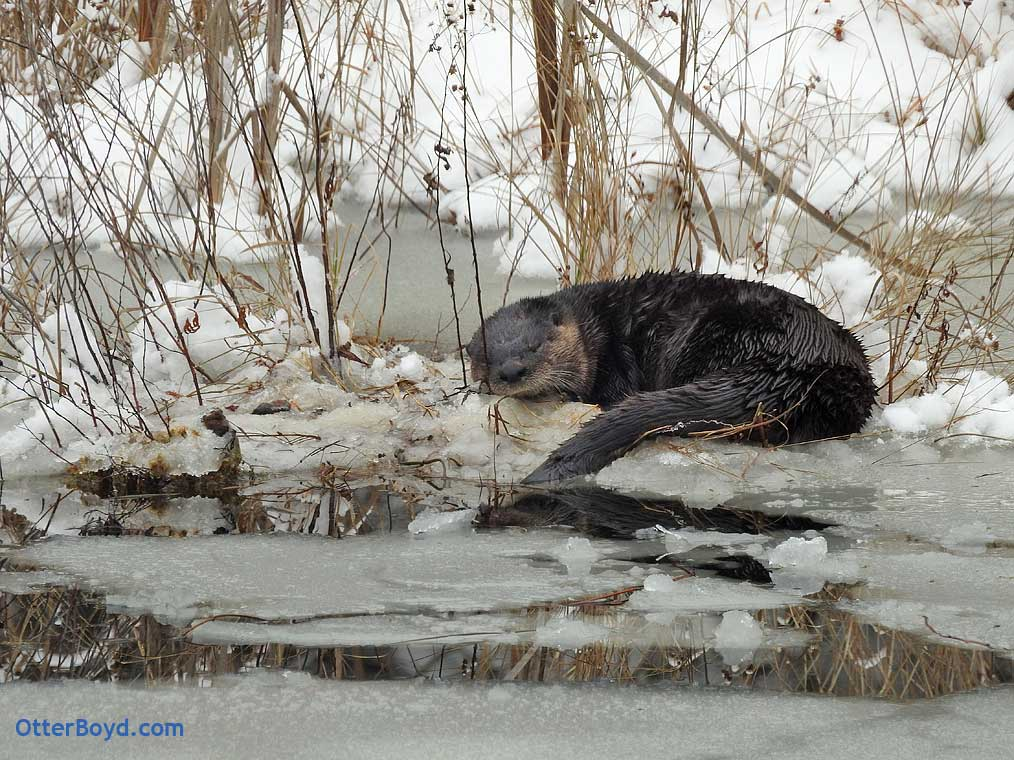 Otter in Frozen Pond