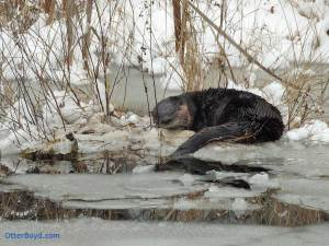 otter sleeping in the snow