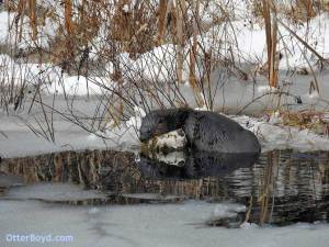 otter sleeping in snow at edge of pond