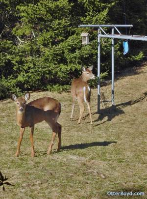 white tailed deer at backyard playground