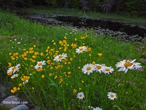 wildflowers buttercups daisies at pond