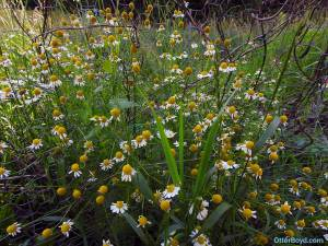 chamomile flowers ready for harvest
