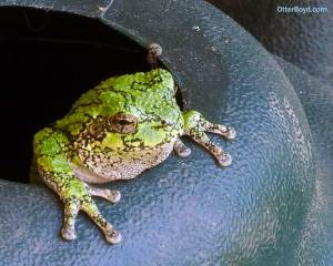 grey tree frog in watering can