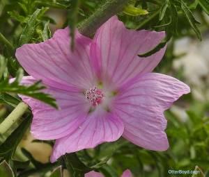 musk mallow flower Malva moschata