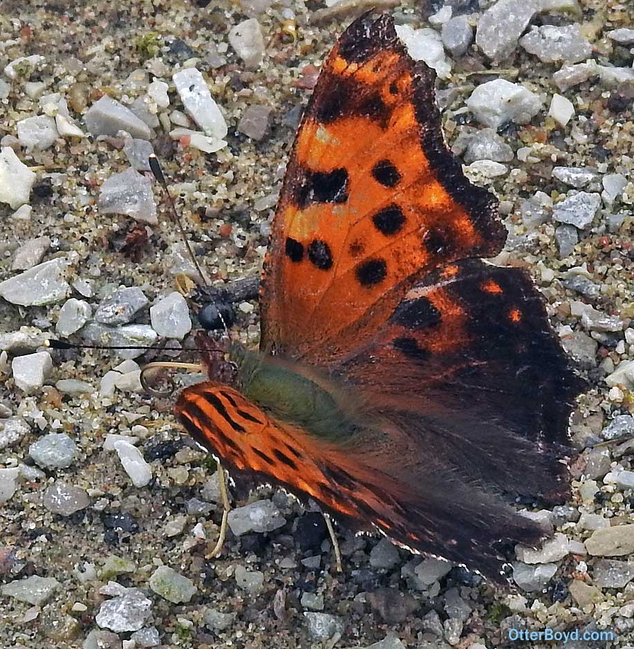 orange butterfly with brown spots feeding on salts in soil Eastern Comma Polygonia comma