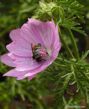 pollen covered bumblebee on musk mallow flower