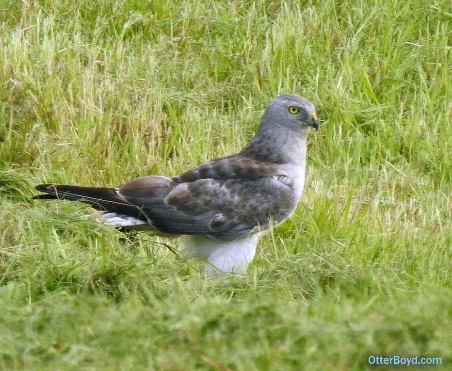 gray white male northern harrier hawk