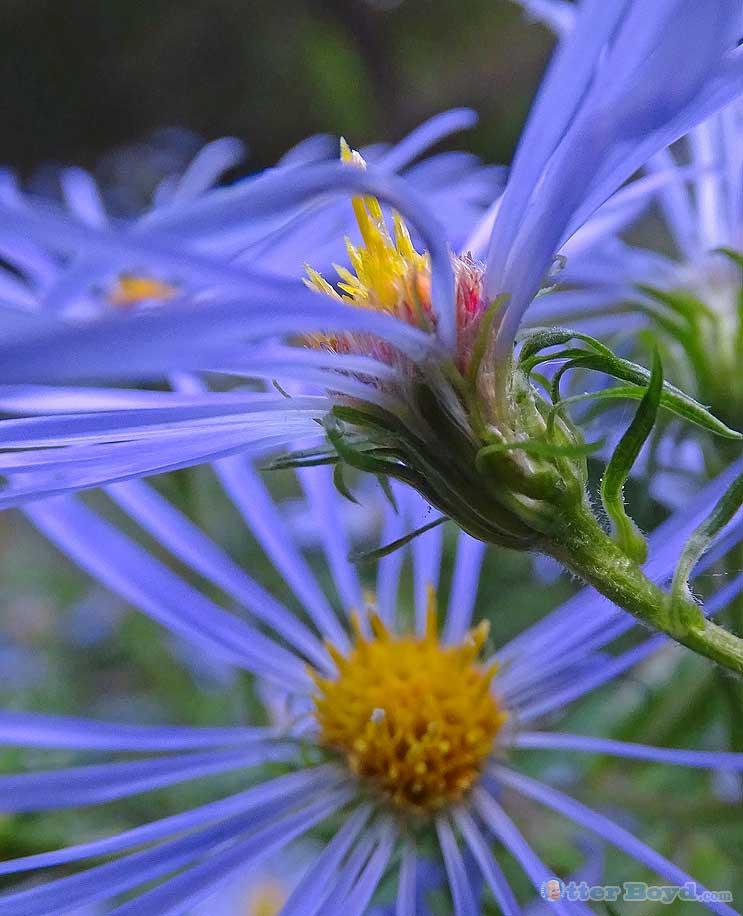 aromatic aster flower
