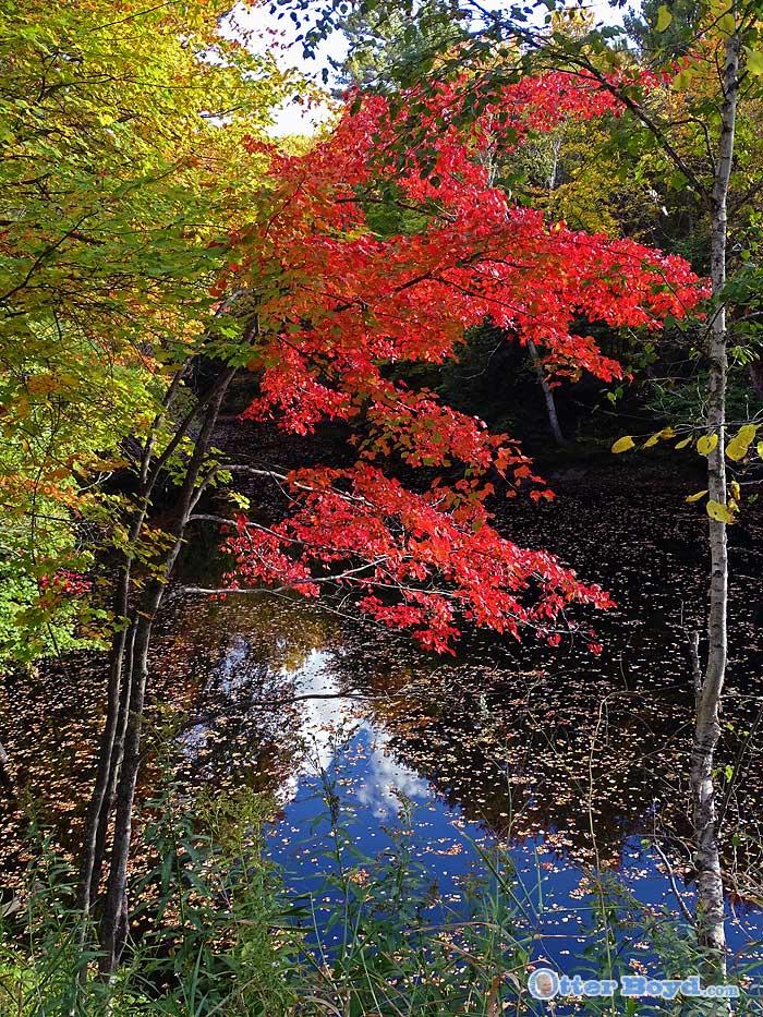 autumn red maple over quiet river
