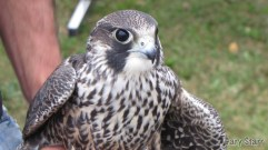 Peregrine Falcon caught and released at the banding station