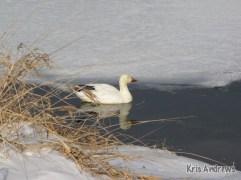 Snow Goose, Kris Andrews