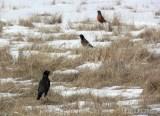 Robins all over the Hurd Grassland