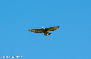 Immature Broad-winged Hawk