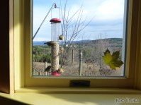Goldfinches through Gale Hurd's window