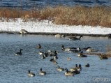 Geese and Mallards