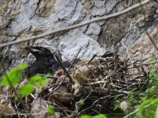 Raven Nestlings