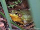 Bullfrog...