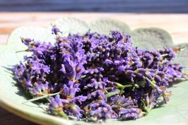 Lavendelernte zur Hersttellung eines Lavendelhydrolat
