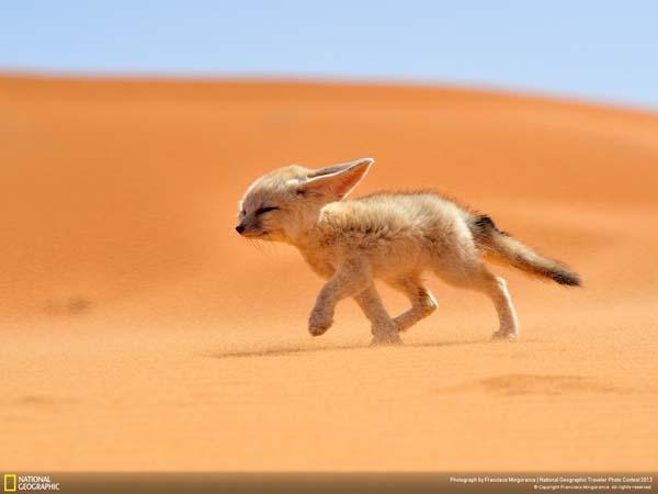 Фенек пробирается через суровую пустыню.