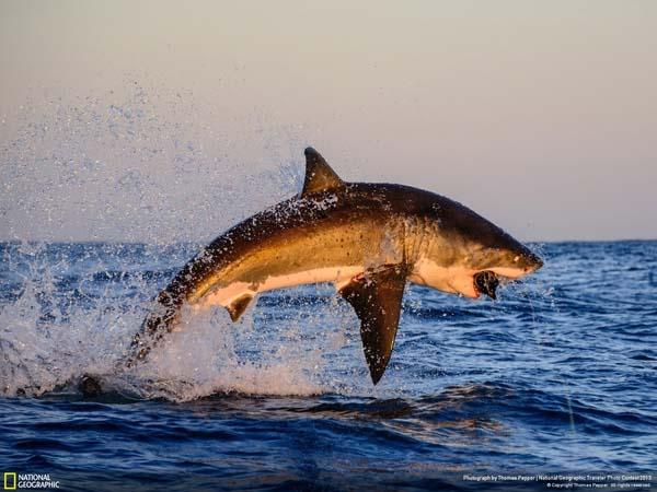 Акула, действительно вселяющая страх.