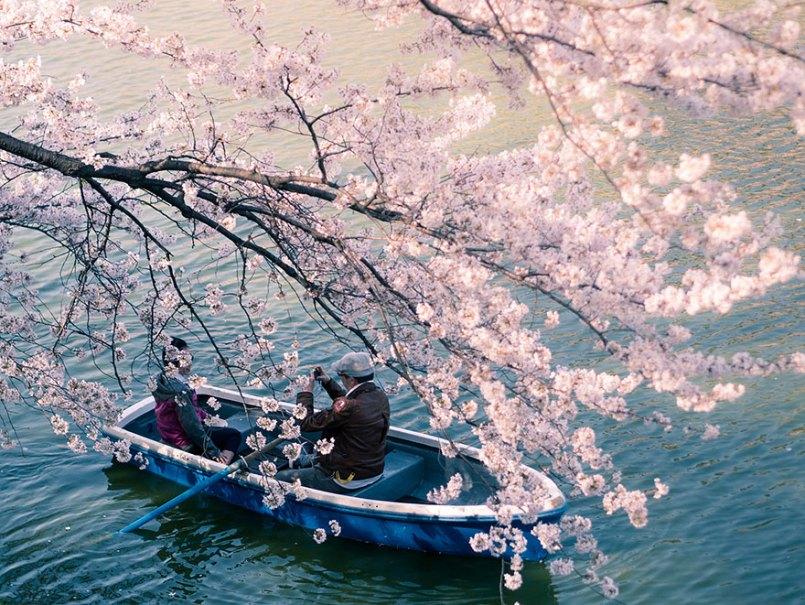 цветущая сакура и катание на лодке