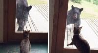 Un ours tente de rentrer dans une maison. Que va faire le chat pour sauvegarder son territoire ?