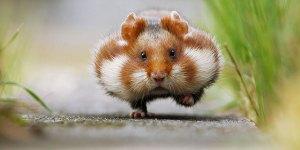 L'histoire du hamster