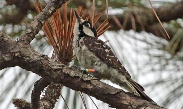 A SANCTUARY FOR AN ENDANGERED BIRD