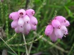 Macro mode... cross-leaved heath flowers...