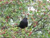 Blackbird in the tree... eating, eating... one two three...