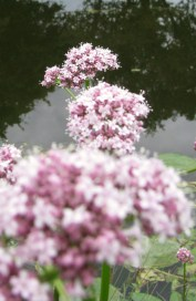 3 Pom-poms in a row... pink detail beside the canal banks...