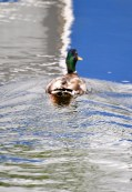 Blue ripples? Glide on duck... glide on! Kilcock Harbour, Royal Canal... Ireland.