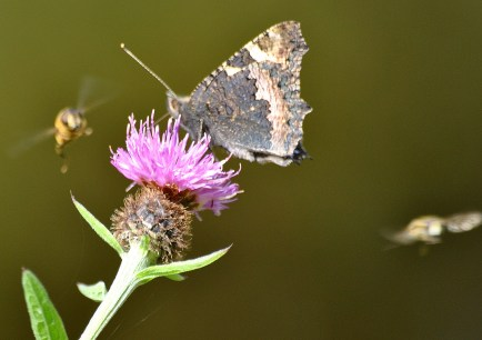 Small Tortoiseshell on thistle... Note the bees buzzing the fella...