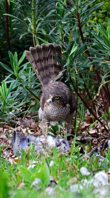 Sparrowhawk tail up for balance...