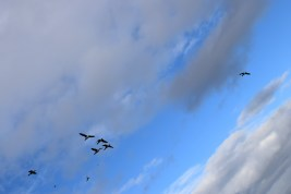 Brent Geese flying high... Bull Island, Co Dublin, Ireland