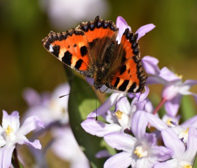 My first butterfly pics of the year (2015)... small tortoiseshell.